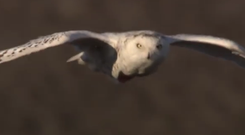 Snowy Owl keeps an eye out for its Arctic Circle foes. Photo: YouTube / BBC Super Powered Owls