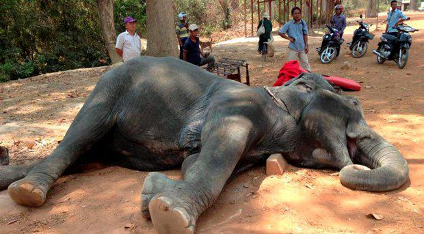 Sambo the elephant was thought to be between 40 and 45 years-old Yem Senok/Facebook