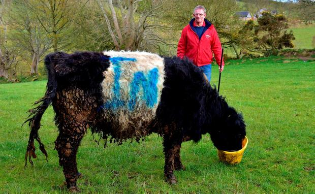 Sheep and cattle farmer Colin Gibson in the Sperrin Mountains near Dungiven, Co Derry, has painted the word IN on his cattle and sheep as a reminder for people to vote to stay in the EU. The word IN is the slogan for Northern Ireland Stronger In Europe. Photo: Mark Winter/Getty Images