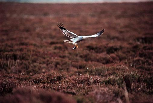 ENDANGERED: Hen harrier numbers are continuing to decline. PA photo: RSPB