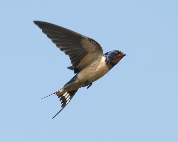 The arrival of swallows has been later this year.