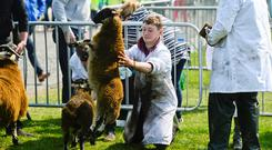 All the fun of the fair at The Royal Ulster Agricultural Society's annual show at the Eikon Exhibition Centre, Balmoral Park near Lisburn in Co Antrim. Photo: Mark Marlow/Pacemaker Press.