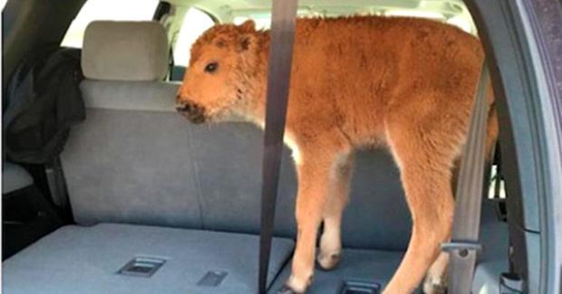 The baby bison in the back of the car