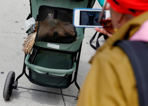 A woman takes a photo of Henry, an African spurred tortoise, as he looks out of his stroller on 110th street in New York, U.S., May 19, 2016. REUTERS/Shannon Stapleton
