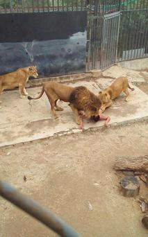 Two lions jumped on to the man when he leapt into the enclosure
