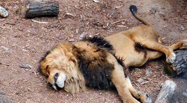 The lions were shot by a zookeeper after mauling the man as visitors looked on in shock La Mirada