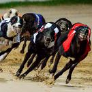 Irish dogs dominate the betting on the William Hill English Derby following an amazing third round at Wimbledon on Saturday. Stock photo: Cody Glenn / SPORTSFILE