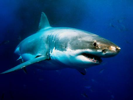 'By the late 1980s, shark populations were crashing, and scientists sounded the alarm. The first law protecting sharks was passed in the 1990s in Florida and limited the daily catch to one shark per person' Photo: Depositphotos