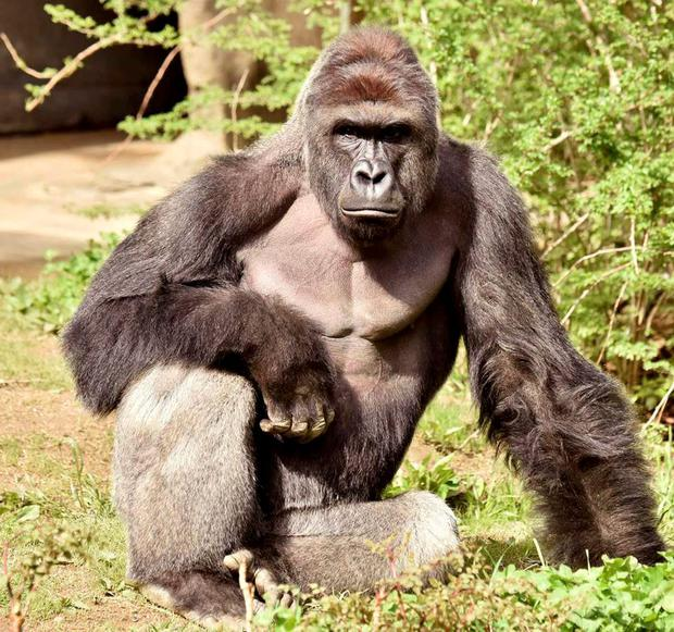 Harambe the gorilla, who was shot dead by zoo keepers