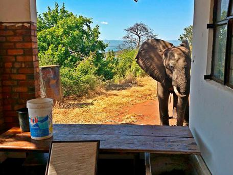 The elephant, since named Ben, was dehydrated and limping badly, and photographs show him looking inside a building (Photo: Bumi Hills Foundation)