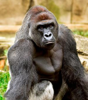 A June 20, 2015 photo provided by the Cincinnati Zoo and Botanical Garden shows Harambe, a western lowland gorilla, who was fatally shot Saturday, May 28, 2016, to protect a 4-year-old boy who had entered its exhibit
