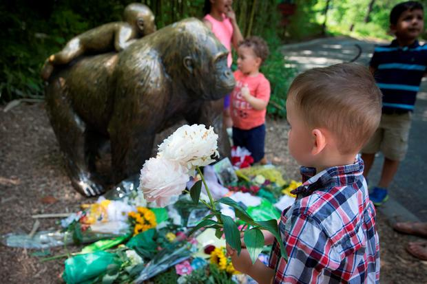 A boy brings flowers to put beside a statue of a gorilla outside the shuttered Gorilla World exhibit at the Cincinnati Zoo & Botanical Garden, Monday, May 30, 2016, in Cincinnati
