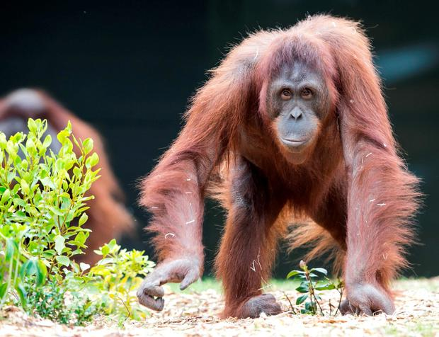 Female Orangutan Leonie(35) enjoying their new Home in Dublin Zoo. Picture: Kyran O'Brien