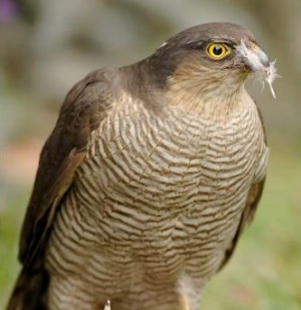 Strike: The sparrowhawk is a fast flier and skilful hunter Photo: Brian Hopper