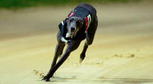 'My long range fancy for outright honours is the Pat Buckley-trained Droopys Nine (8.08) in Heat 3'. Stock photo: Sportsfile