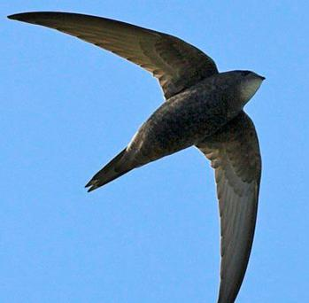 Fleeting visitors: Swifts arrive here in May and make their long journey back to Africa in August