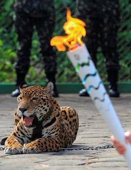 Jaguar Juma is pictured during the Olympic Flame torch relay in Manaus, Brazil REUTERS/Marcio Melo