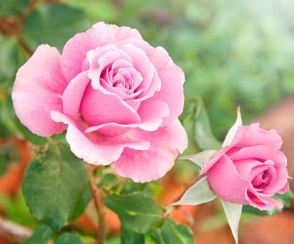Diarmuid Gavin: 'The most important character which roses require is that they are beautiful'.