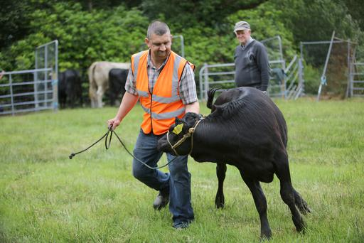 Richard Morris, gets to grips with his winner of the Kerry Heifer Under 2 category, at the Glencar Cattle Show & Carnival, Co Kerry. Photo: Valerie O'Sullivan