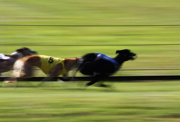 Both Ballymac Matt and Droopys Roddick proved their well-being with 28.10 and 28.13 trials at Tralee last Friday. Photo: Martial Colomb