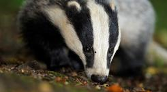The mass culling of badgers could soon be a thing of the past.