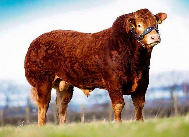 An embryo out of Kilcor Frostie, from North East Limousin club secretary Noel Gill's Monaghan herd, sold for €1,010. The embryo is the exact same mating as Kilcor Iceman (pictured) by sire Fieldson Alfy.