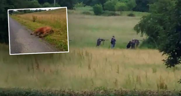 Farmer Mr Hoey said that three of the heifers were 'gunned down' outside his home after they ran towards the farm house while being shot at