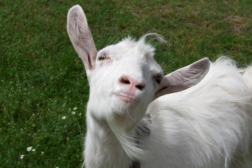 'Researchers from Queen Mary University of London aim to prove that goats are much cleverer than previously thought and interact with people in a similar way to pets, having trodden a path of domestication for 10,000 years' Photo: Depositphotos