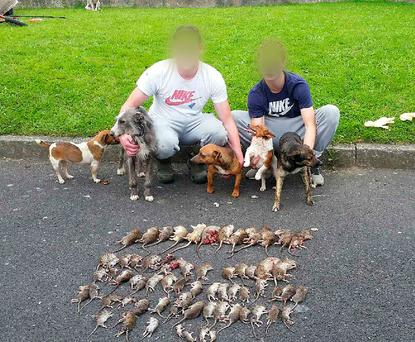 6/3/16 Local lads and their dogs kill over 60 rats at Grange View Place near Clondalkin in Dublin. Picture:Arthur Carron