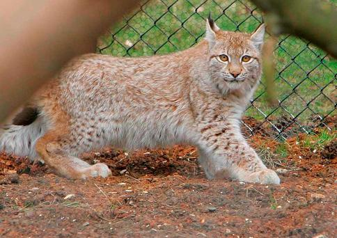 A lynx, similar to the one which escaped from its zoo enclosure at Dartmoor Zoological Park Credit: Geoff Caddick/PA Wire