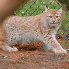 A lynx, similar to the one which escaped from its zoo enclosure at Dartmoor Zoological Park. Photo: Geoff Caddick/PA Wire