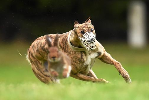 'I have never forgotten that hare that heard me cry. But sadly, I've heard far too many of them crying since then, in footage taken at hare coursing centres around this country - which remains one of only three in the western world that allows this blood sport.' Photo: Sportsfile