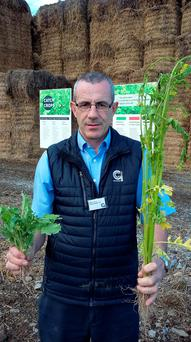 Goldcrop's Dave Barry with six weeks old examples of two of the cheapest cover crop options under GLAS: fodder rape and mustard