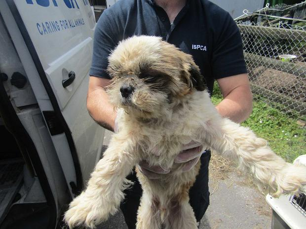 The rescued dogs arrive at the ISPCA National Animal Centre in Longford. Photo: ISPCA