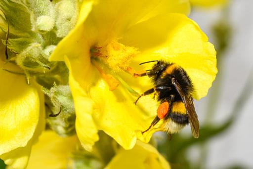 Bumblebee collecting pollen from a mullein.