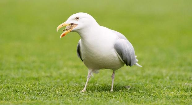 Seagull (Stock image)