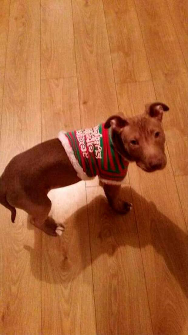 Hank with his Christmas jumper last year