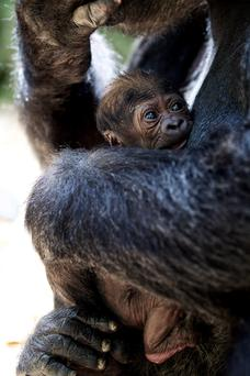 Dublin Zoo is delighted to announce the arrival of a bouncing, baby western lowland gorilla. Photo:Patrick Bolger Photography