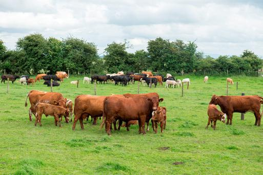 Luing cattle on the Cosgrave farm near Enfield, Co Meath