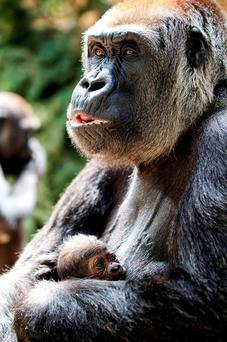 Mother Lena cradles and feeds her newborn baby gorilla at Dublin Zoo. Patrick Bolger