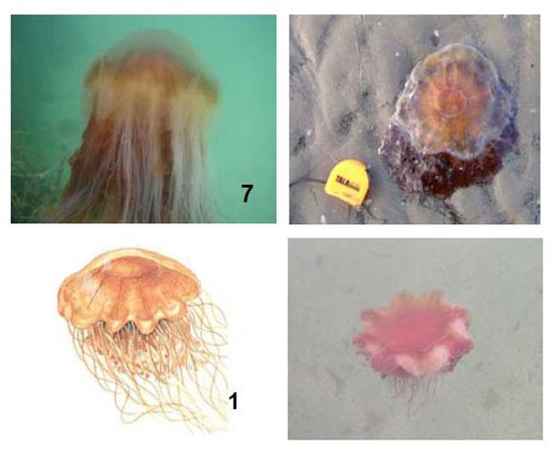The Lion's Mane jellyfish can reach a diameter of 2m, but are normally much smaller. They have 150 tentacles each and their colour ranges from deep red to yellow. Photo: IWS