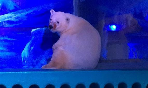 Pizza, the polar bear, is being kept on display in a shopping mall in China Photo: Animals Asia