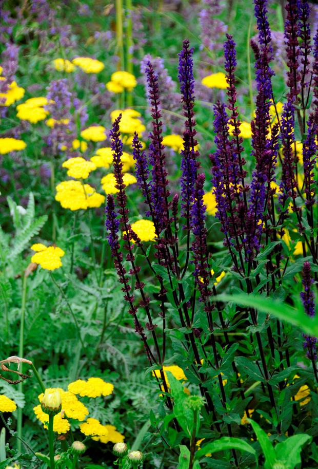 Outstanding: Salvia Caradonna has deep violet-purple spikes, which appear from early summer