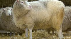 Dolly the first cloned sheep. PA