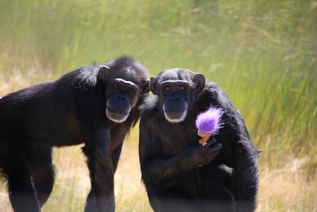 Foxie and her troll. Photo credit: Chimpanzee Sanctuary Northwest Facebook page