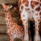 A two day old female Rothschild Giraffe calf stands next to her mother Lunar in her enclosure at Port Lympne Wild Animal Park near Ashford, Kent Credit: Gareth Fuller/PA Wire