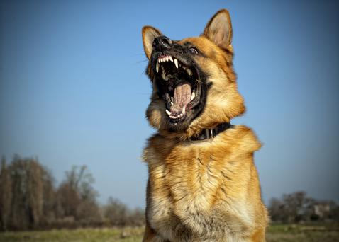 German Shepard dog with aggressive expression whilst leaping from the ground.