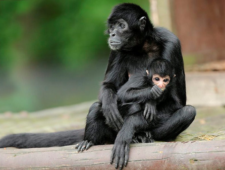 The Colombian spider monkey is classed as critically endangered in the wild by the International Union for the Conservation of Nature (IUCN).