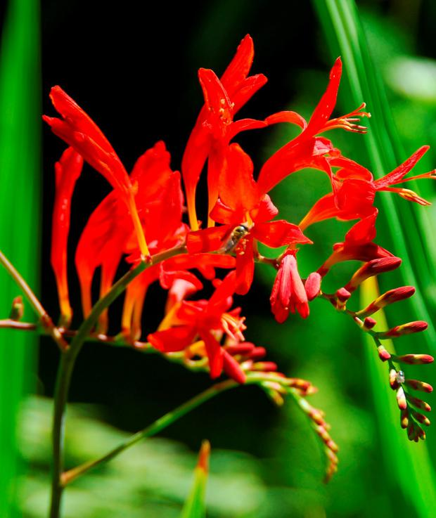 ROUGH: Montbretia is ideal in naturalistic corners