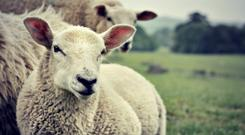 Lambs are not plentiful according to the ICSA